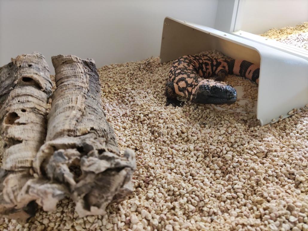 Jadowita jaszczurka - heloderma arizońska (Heloderma suspectum) – podopieczna Fundacji Epicrates