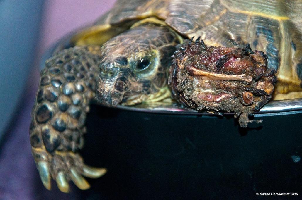 Żółw stepowy – stan, wjakim trafił doFundacji Epicrates